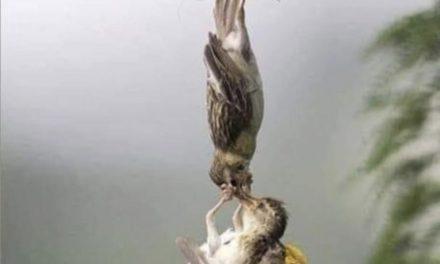Новина в снимка: Падна от гнездото, но е спасен… от любов!